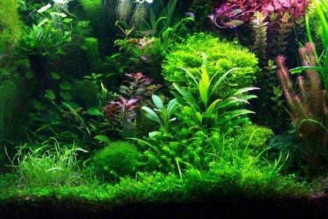 Bitkili akvaryumlar için en iyi 5 yosun yiyici
