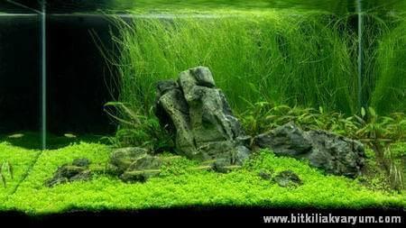 akvaryum, akvaryum bitkileri